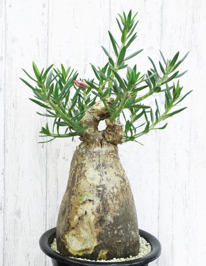 パキポディウム・ビスピノーサム キョウチクトウ科・パキポディウム属  生育期は夏。薄茶色で、まあるい壺のように膨らんだ姿が特徴的。頂点からは枝を伸ばし葉をつけ、ピンク色の花が咲きます。