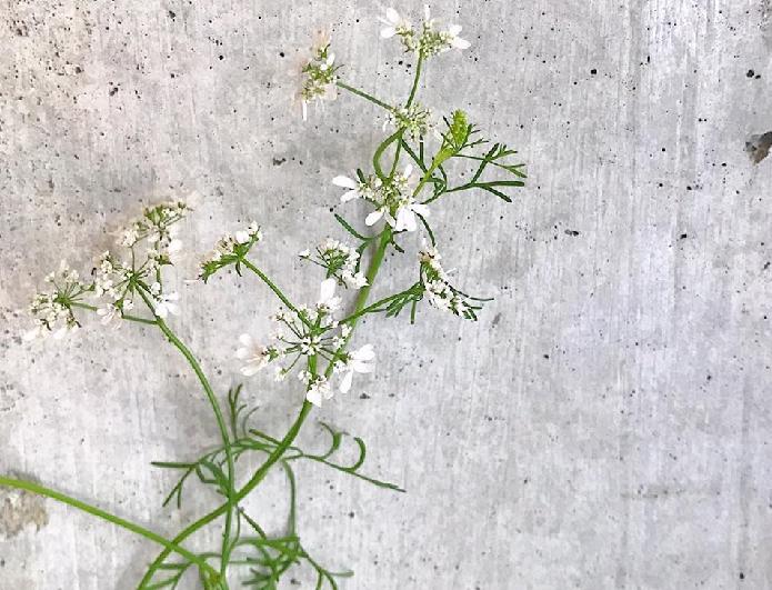 改めてパクチーの小さくて白い花を眺めてみると可憐で清楚、とても魅力的な花ですね。  花瓶に挿して飾ったり、エディブルフラワーとして食べることもできるので、お皿に素敵に盛り付けてみましょう。
