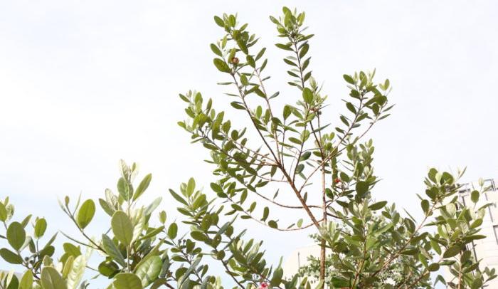 フェイジョアは、フトモモ科の常緑果樹です。  丸い葉の形と、表面の光沢感、裏面の銀白色が魅力的な樹木です。  オリーブの葉を少し大きく、丸みを帯びさせたような形をしています。  原産地はパラグアイ、ブラジル南部、ウルグアイ、アルゼンチンで、山野に自生していますが、ニュージーランドで多く品種改良が進んでいます。  塩害に強い性質と、強剪定にも耐えうる強健さのおかげで、ニュージーランドではキウイフルーツの防風対策に使用されていた樹木でした。  日本では30年ほど前にフェイジョアが紹介されましたが、一時のブームが去った後は忘れ去られたような存在だったようです。