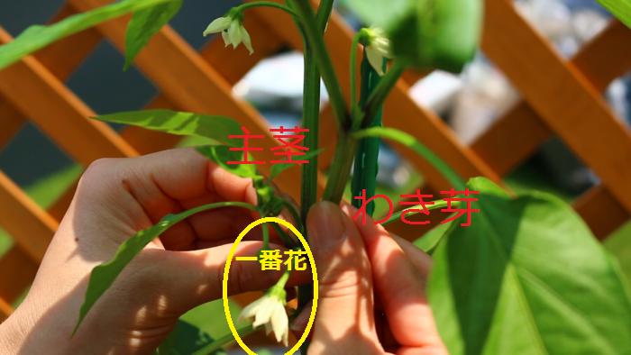 その目安となるのがピーマンの一番最初に咲いた花です。ナスと同じようにピーマンも一番花を起点に3本に仕立てていきます。  ▼主茎と一番花の下の勢いのあるわき芽を2本伸ばし、それより下のわき芽は取り除きましょう。