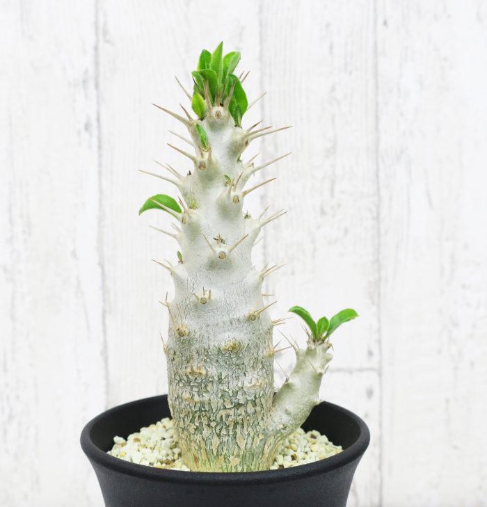 白馬城(ハクバジョウ) キョウチクトウ科・パキポディウム属  つるんとした白い肌にツヤののある鮮やかな緑色の葉をつけます。背丈が低めで枝分かれしやすいタイプで、白い花をつけます。