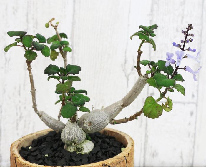 プレクトランサス・エルンスティー シソ科プレクトランサス属  夏が最盛期の植物。バジルやミントと同じシソ科の仲間。盆栽風の姿と香りを楽しめる塊根植物。挿し木で増やすことができ、寒さに弱い種類です。