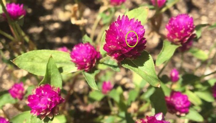 千日紅のピンクや白の部分は、花びらではありません。苞葉(ほうよう)といって、花、つぼみを包んでいた葉のことをいいます。本当の花の部分は白く見える小さな部分です。  苞葉(ほうよう)を触るとカサカサして乾燥しています。今咲いているのに、既にドライフラワーといったところです。そのおかげで色あせることもほとんどなく、綺麗に咲き続けてくれます。