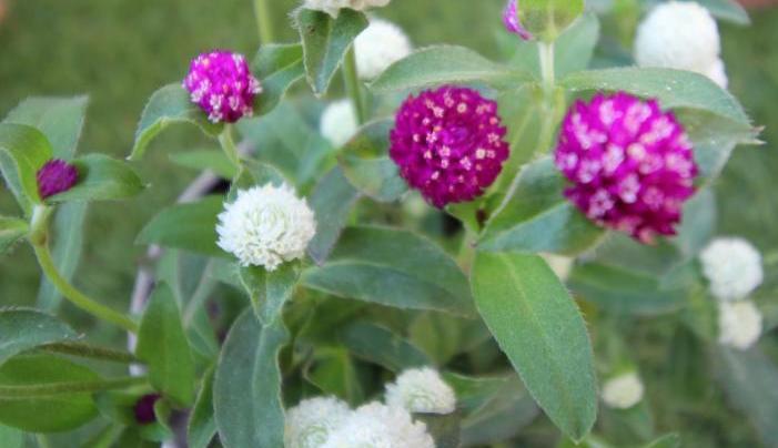 千日紅(せんにちこう)は、一年草の植物で、真夏の暑さにも耐えうる大変丈夫な花です。切り花や花壇材料、鉢植えとして幅広く利用されています。  花色は、紅紫色やピンク、赤、白。  別名センニチソウともいい、鮮やかな花色を長期間保つことができます。