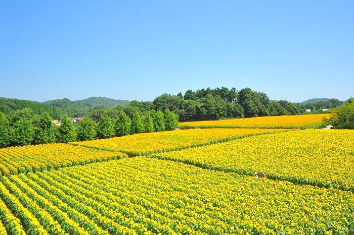 世羅高原農場は広島にある、なんと110万本のひまわり畑です。丘一面を埋め尽くすひまわりは品種も50種類と多く、まるで黄色いじゅうたんが見渡す限りに広がっているよう。ひまわりまつり期間中には、収穫体験などのイベントもさまざまです。