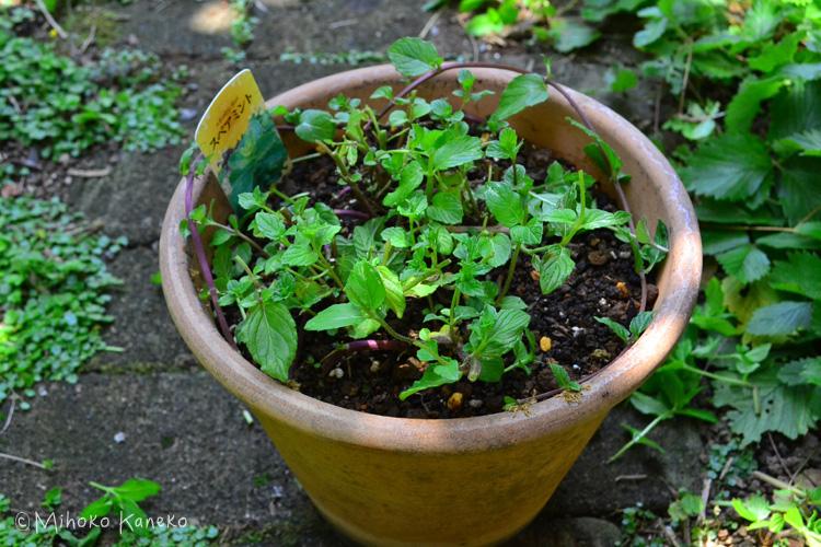 伸びたミントの茎を全体的に切ります。