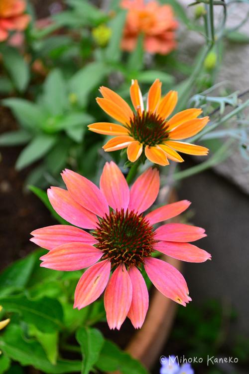 エキナセアの魅力は、なんといっても色数が豊富なことです!赤、ピンク、黄色、白、グリーン、オレンジ、アプリコット、複色・・・。そして最近は八重咲種も出てきました。同じ株から違う色が出てくる品種もあります。
