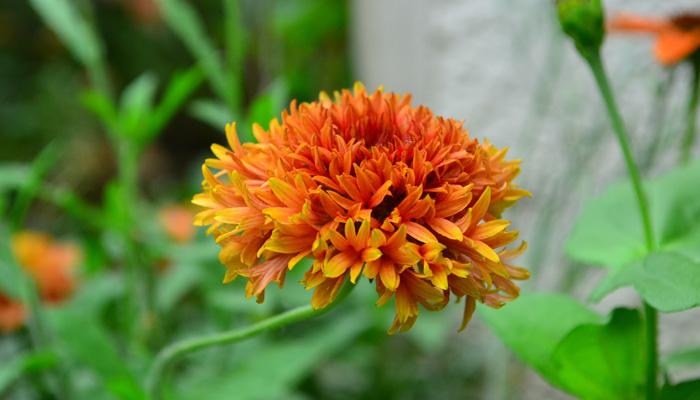 ガイラルディアは鮮やかな色と大きな花が印象的なキク科の多年草です。庭のなかで色のアクセントのような役割を果たしてくれます。