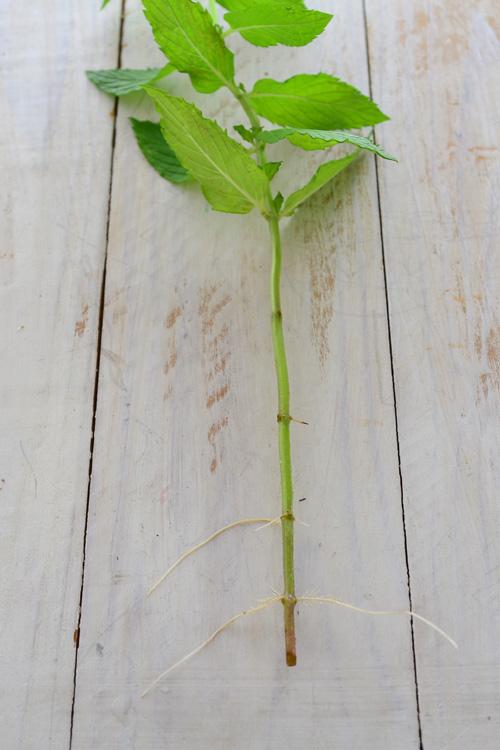 ミントは茎に節があり、その節から根や葉っぱが出てきます。土の下の部分の節からは根、土の上の部分は葉になります。  ミントを生けて数日後、立派な根が出てきました!