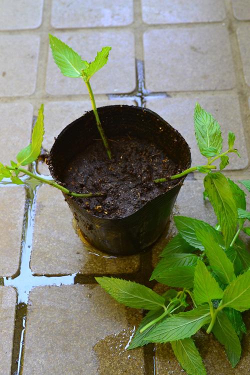 残りの土を入れます。  今回は、アレンジ用に使った茎の長いミントだったので、葉っぱを一節残して、上の部分はカットします。  根付くまでは、土から上の部分の茎は短めにして、根付かせるためにエネルギーが回るようにします。  最後に水をたっぷりと与えます。  確実に根付くまでは、直射日光が当たらない風通しのよい場所で管理します。  また、土が水切れを起こさないように、定期的に水をあげてください。  根付くまでに、水が切れてしまうと、せっかく出た根が枯れてしまいますのでご注意ください。