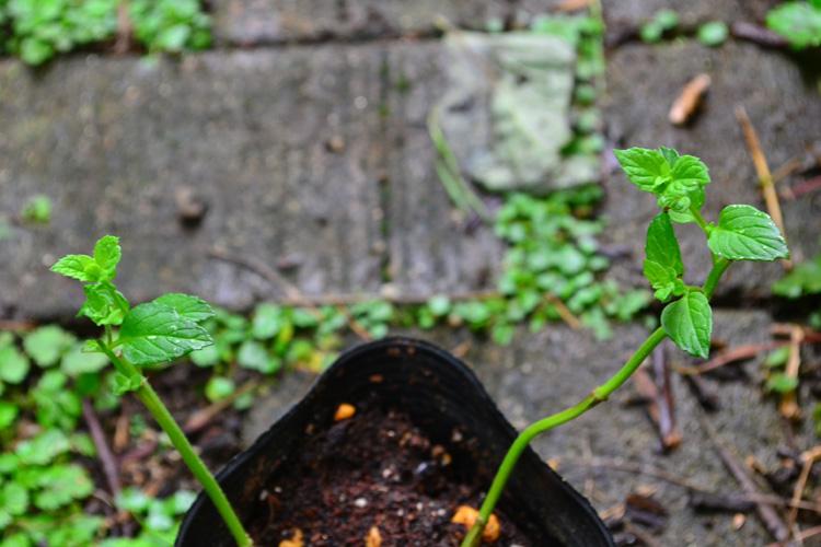 時期にもよりますが、1~2週間すると根付いたことがわかる、新しい新芽が芽吹いてきます。  小さい葉っぱが複数でてきたので、大きな葉を取って更新してみました。  新しい葉っぱが出てきたら、通常の管理の仕方と同じ方法で大丈夫です。  置き場所もいつもの場所に移動させましょう。  その後、順調に葉が出てきたら、切り戻しをして、好みの丈に仕立てることもできます。