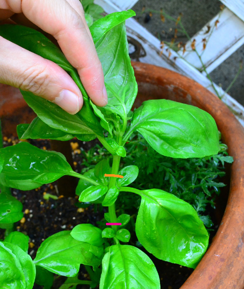 オレンジの部分のバジルの茎を摘芯剪定します。茎がたくさん出て、葉っぱと葉っぱが触れ合って蒸れそうな時は、葉っぱをすくような意味で、一部はピンクの部分で切るのも、梅雨などの蒸れやすい季節にはおすすめです。