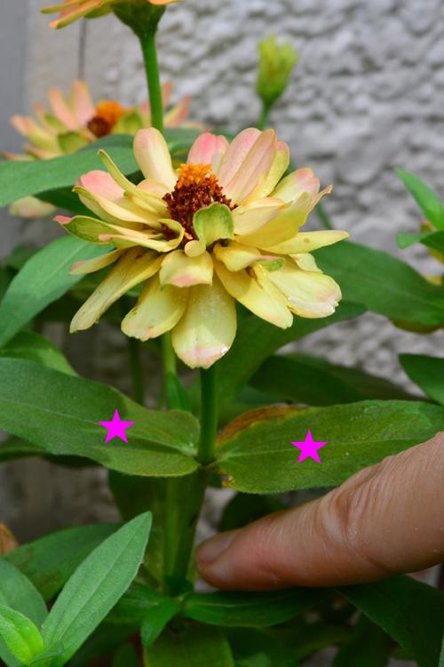 摘み取るのは、ジニアの花だけでなく、★印の葉っぱも切ります。切る位置は、指で挿している部分です。