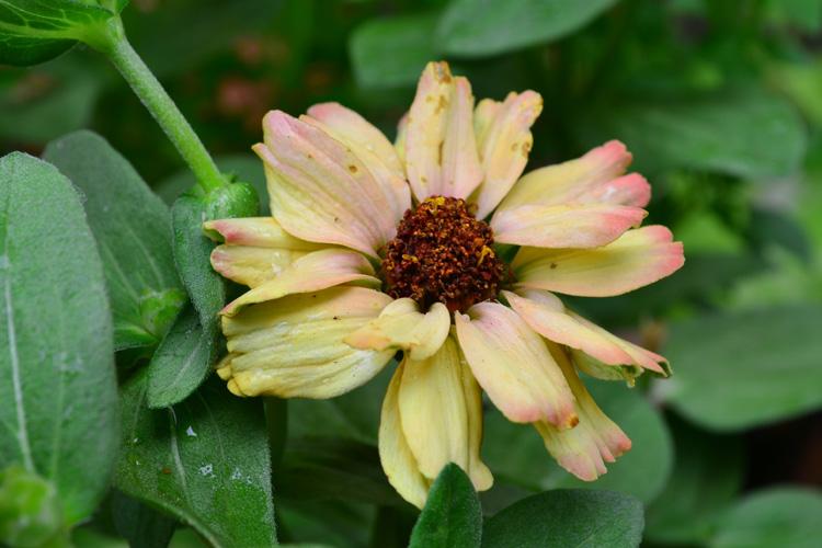 ジニアの咲き始めは黄色やオレンジ色の中心の色をしています。写真のように茶色っぽくなって花びらの色がワントーン褪せた花色になってきたら、摘み取りましょう。
