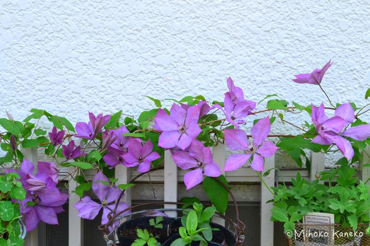 シーズン最初のクレマチスの花が咲くのが5月で1カ月近く開花しています。