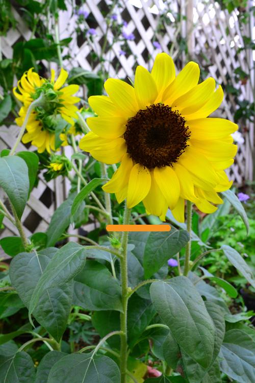 花びらが散ってきたら、線を引いたつぼみのすぐ上を剪定します。終ったひまわりをそのままにしておくと、種をつけることにエネルギーが回ってしまうので、早めに剪定した方が次の花のためになります。ただし、種を採りたい場合は、終わった花をそのままにしておくと中心部分が種になります。また、花だけでなく、黄色くなった葉っぱは、早めに取り去りましょう。
