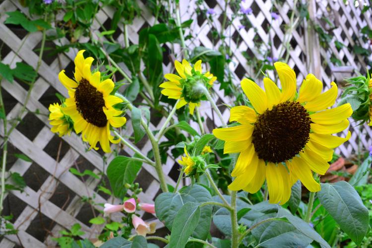 ひまわりの苗は初夏~8月ごろまで出回っています。本葉が5~6枚までがひまわりの移植のタイミングですので、苗を購入する際はあまり大きくなりすぎていないものを選びましょう。苗の選び方は、葉っぱが生き生きとした緑色で、つぼみがついているもの、花や葉の表と裏をよく見て病害虫の害がないかをチェックして健康な苗を選ぶようにします。