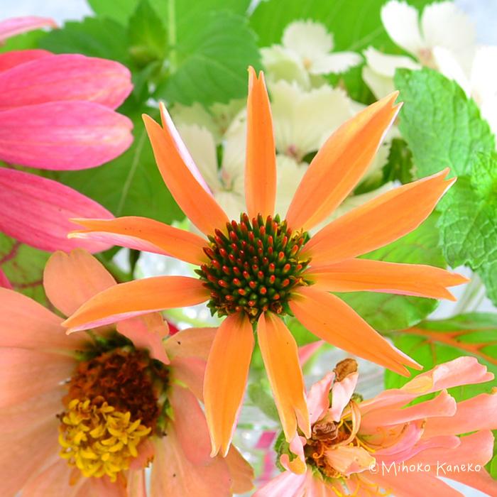 エキナセアの花の開花は、東京のような酷暑だと夏場は少し花が休みがちになりますが、涼しくなると花が復活し、10月いっぱいくらいまで開花します。冬前になったら地際で切り詰めて、株の周りをワラや腐葉土などでマルチングしておくと寒さ対策になります。エキナセアをはじめとした宿根草は、株が大きくなるにつれて花数が多くなってきます。宿根草の本来の魅力を感じられるのは2年目、3年目以降くらいからです。エキナセアは、株の生長のスピードとしてはゆっくりなタイプの宿根草です。