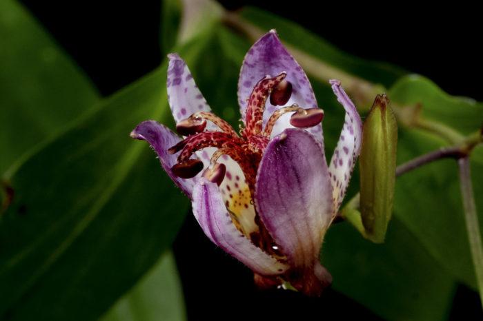 開きかけのホトトギスの花も可愛らしいです。