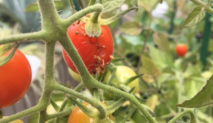 6~10月は要注意!  オオタバコガやタバコガは、6月に土中から出て成虫である「蛾」の状態になり、寄生する植物に卵を産み付け繁殖していきます。  オオタバコガやタバコガが越冬の状態に入る時期の10月ごろまで、幼虫が食害を続けて成長をします。  日頃のお手入れの中で、新芽や花蕾(からい)の部分に卵が産みつけられていないか、トマト・ミニトマトの果実のヘタの周りに5mm位の穴が開いていないか、よく観察しましょう。