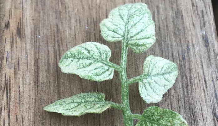 ハダニは、体長0.3mm~0.5mmの虫です。3月~10月の暖かい時期に発生しやすく、植物の葉から栄養を吸収して弱らせます。ハダニの被害に遭った場所は、このように葉緑素が抜けた状態になります。