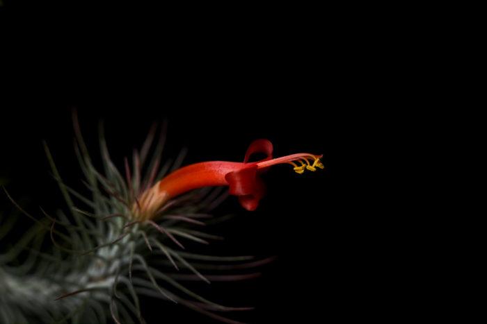 フンキアナは朱色の美しい花を咲かせます。草丈に対して花が意外と大きいので見ごたえ抜群で、開花前、開花中と観賞価値の高いティランジア(エアプランツ)です。