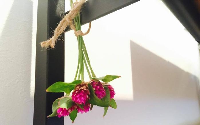 千日紅(せんにちこう)のおすすめしたいポイントは、切り戻したらドライフラワーにするのがとっても簡単ということです。基本的には、風通しの良いところに逆さにして干します。葉は花と違って、もろく壊れやすいので、気になるようでしたら最初から取り除きましょう。