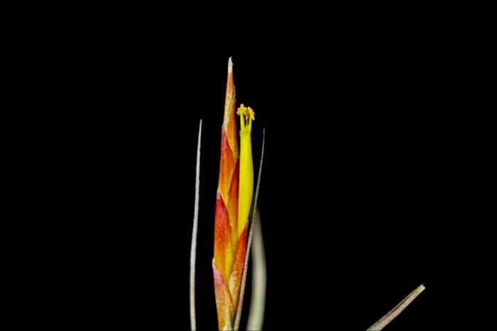 シーディアナの様に黄色の筒状花というのはティランジア(エアプランツ)の中でも珍しく、非常に美しいです。開花していない間は地味な見た目ですが、花の観賞価値は非常に高いです。
