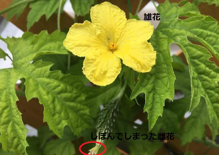 ゴーヤの雌花と雄花