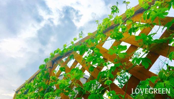 ゴーヤをベランダ菜園で収穫!ゴーヤの育て方とプランター栽培のコツ