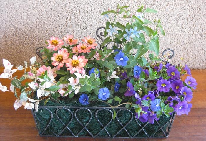 アメリカンブルーは、枝がほふくして四方に広がります。花壇の縁取りやハンギングバスケット、寄せ植えやグラウンドカバーなど、幅広く利用できます。