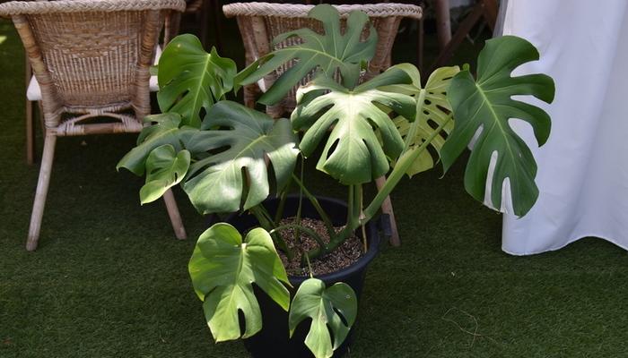 葉に独特の切れ目が入る人気の観葉植物モンステラ。熱帯アメリカのジャングルに生えている半蔓性(はんつるせい)の植物です。とても大きくなる種類や小さい種類など、モンステラは25種類~40種類あると言われています。自分の好きなモンステラを育ててみてはいかがでしょうか?