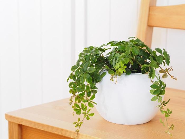 シュガーバインはつるが長く伸びるので、背の高い棚の上に置いてつるを上から下へ流すように飾ると目線の高い位置にグリーンが見えて美しいです。鉢植えする時も、少し高さのある鉢に植えてつるの美しい流れを楽しむことをおすすめします。