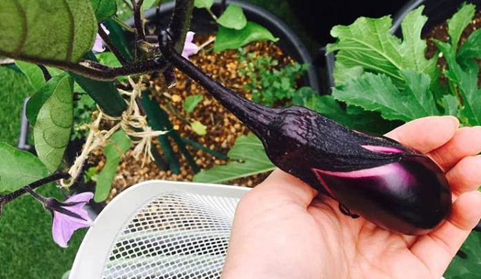 9月以降に秋冬野菜をスタートさせたいけれど、プランターの数も限られて、栽培スペースがあまりないという方は、無理に更新剪定せず8月下旬までなすを収穫し、9月から秋冬野菜をスタートさせましょう。