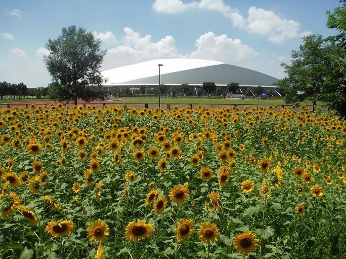 熊谷スポーツ文化公園は埼玉県の大規模な運動公園で、陸上競技場・ラグビー場・ソフトボール場などいろいろな施設があります。ひまわりは親水広場・セラピーガーデンに植えられていて、約25000本が咲きます。