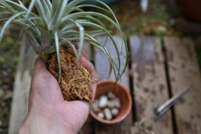 水でふやかした水苔を根に優しく巻いていき、軽く絞ります。