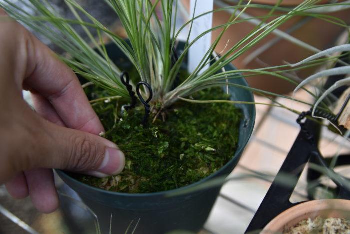 さらに肥料を多めに与えていたり、日当たりの悪い場所に置いておくと水苔の表面に藻が出てくるので、植え替えをして日当たりと風通しのいい場所に移動すると良いと思います。