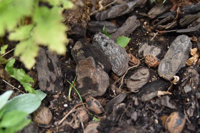 花壇のダンゴムシ