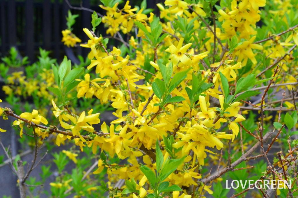 言葉 レンギョウ 花 すべての美しい花の画像: 50+レンギョウ