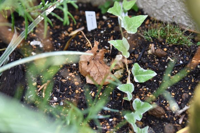 枯れ葉にいるダンゴムシ