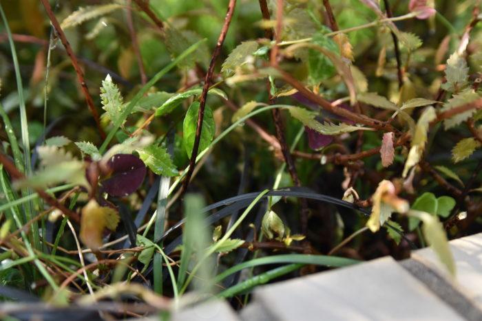 茂みのダンゴムシ