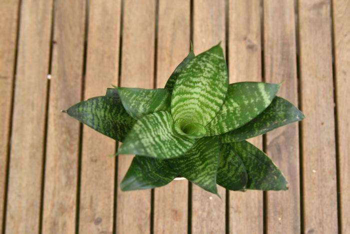 美しい幅広の葉がロゼット状(放射状)に広がる人気のある品種です。