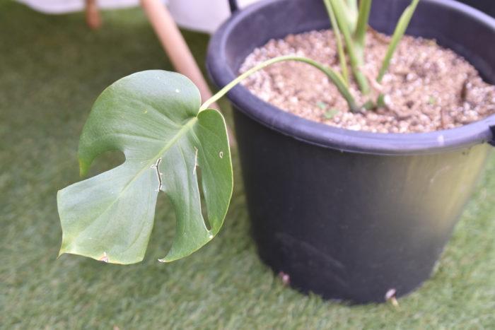 モンステラは生長が早く、また生長するにしたがって大きな葉を出すようになるので、邪魔になってきたな…...。と感じている方も少なくないと思います。そこで、ここではモンステラの剪定方法をご紹介します!モンステラの剪定は非常にシンプルで、古くなってきた葉や邪魔な葉を葉の付け根から切るだけです。小さいころに展開した葉で、切れ目が少なく弱ってきています。このような葉は切ってしまって問題ないと思います。