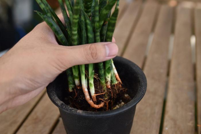 鉢底に鉢底石を敷き、サンスベリア用の土か、観葉植物用の土に鹿沼土を混ぜたものを使用してください。