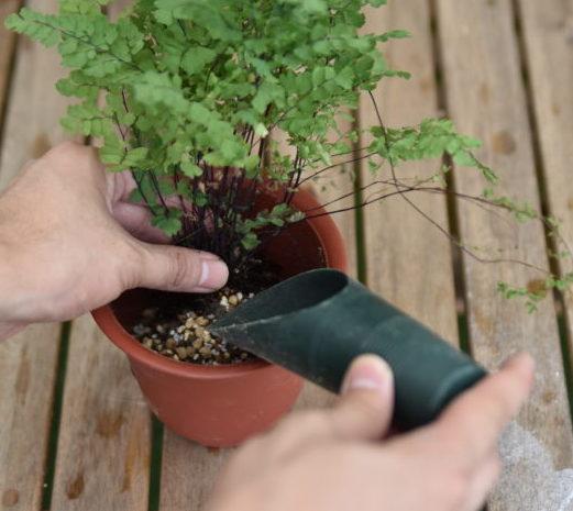 今回は株分けで株の大きさを半分にしたので今まで使っていた鉢と同じ大きさのものを使用しても構いません。鉢の底に鉢底石を入れ、少量の土を入れた後にアジアンタムをバランスよく配置します。あとは周りから土を入れて固定すれば完成です。