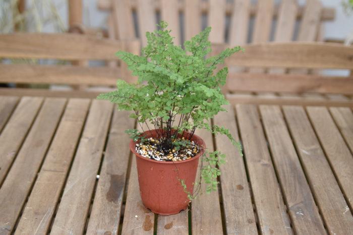 株分け後は水をたっぷりとあげてください。また、新芽や根がしっかりと張るまでは日陰で管理して土が乾燥しないようにしてください。