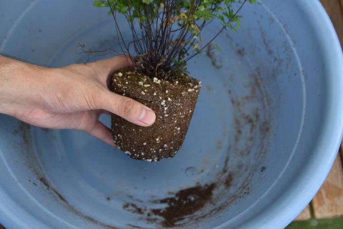 まず、アジアンタムを鉢から取り出します。