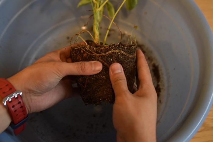 手で優しく古い土を取り除いていきます。土が硬い場合は水に10分ほどつけてから取り除いてゆくと楽にできます。