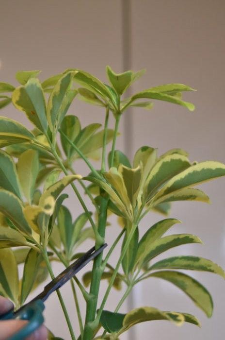 高く伸びすぎてしまっているカポック(シェフレラ)は、上の方の枝を剪定して切り戻しをすることができます。  切り戻したあとは脇芽が出てきます。剪定した枝は挿し穂にして挿し木で増やすことができます。
