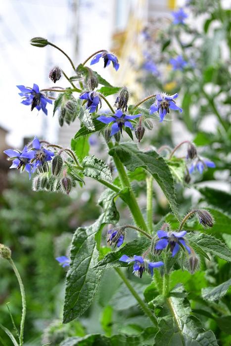 ボリジは種ができると花つきが悪くなるので、しぼんだ花はすぐ摘み取り苗の疲労を防ぎましょう。